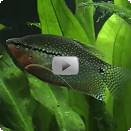 Aquarium guide fische trichogaster leerii for Fadenfische zucht