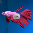 Aquarium guide fische siamesischer kampffisch betta for Siamesischer kampffisch haltung