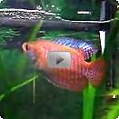 Aquarium guide fische bersicht nach beckengr e 50 for Fadenfische zucht